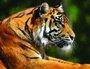 Placa Decorativa Tigre na Selva